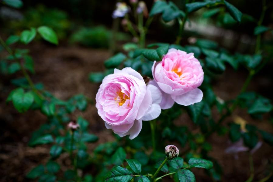 rose workshop Bowral